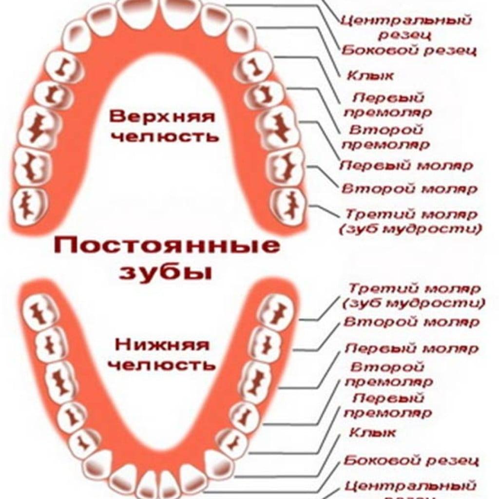 Сколько зубов всего вместе с мудростями
