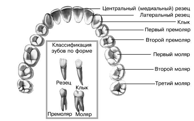 классификация зубов