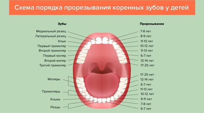 схема прорезывания коренных зубов