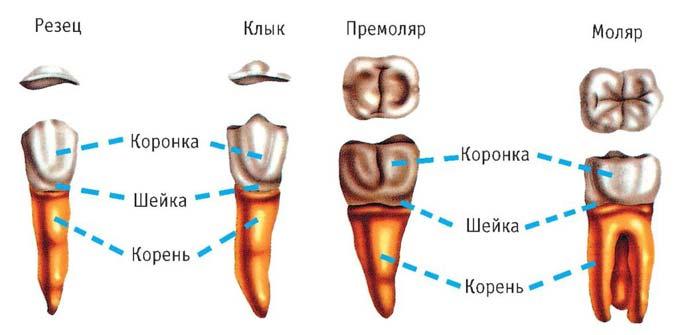 строение клыков