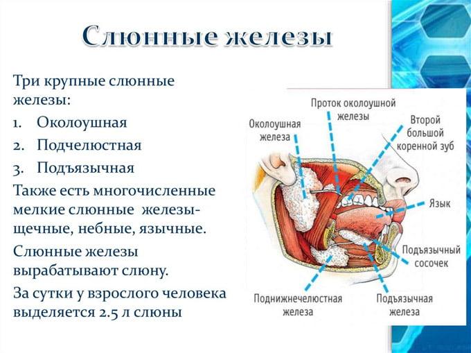 виды слюнных желез